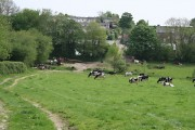 Cattle at Buckland Monachorum