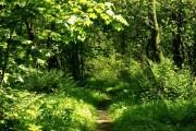 Narrow path, Rea's Wood, Antrim
