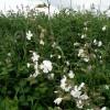 White Campion, Silene latifolia