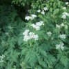 Umbelliferous flowers by old rail track