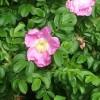 Wild Rose by old Deeside Railway