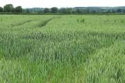 Ripening wheat near Caerwents