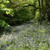 Bluebells, Brock woods