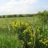 Yellow flag irises on Butley Marshes