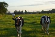 Cattle, Arborfield