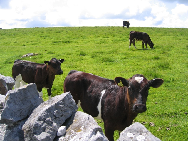 Cattle and pasture alongside Fell Lane