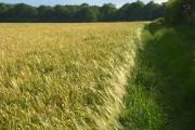 Barley, Cookham
