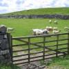 Gate and lambs alongside Fell Lane