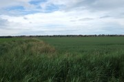 View across wheat field towards Ainsdale