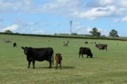 Farmland and cattle near Warren Farm
