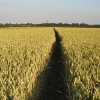 Field west of Hedon looking south eastwards towards Hedon Church