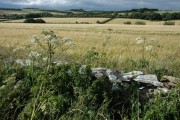 Cow parsley and barley, near Hampen