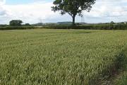Wheat field south of Barrow
