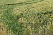 Wheat field towards Barrow