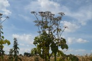 Hogweed at the edge of the wheat field in Wises Lane