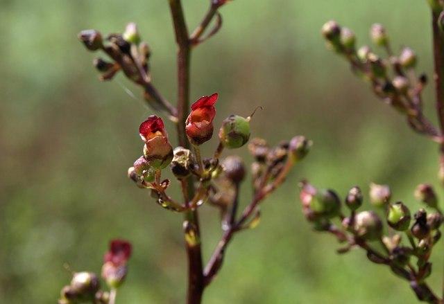 Common figwort