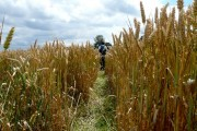 Footpath through wheat field