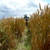 Footpath through wheat field