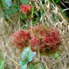 Rose bedeguar galls