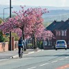 Cyclist and Cherry Trees
