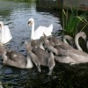 A family of swans at Stathern Bridge