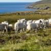 Sheep at  Callakille