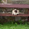Cat, Boarhills