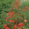 Poppies, Boarhills