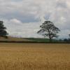 Wheat fields, Bullions