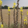 Flowers of multi-stemmed mullein plant, Verbascum thapsus