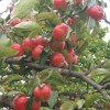 Apples overhanging the road near Henley school