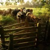 Bullocks near Old Country Wood