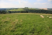 Sheep grazing on Aller Hill
