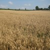 Another wheat crop still in the field