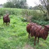 Lincolnshire Longwools