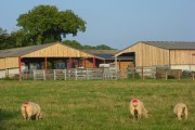 Sheep and barns, Checkendon