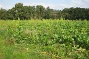 Root crop  SE of Llanwarne