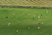 Grazing sheep at Hallyne