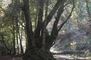 Old Woodland by the River Dart