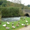 A variety of ducks beside the River Windrush