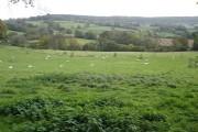 Grazing sheep, on Mortimers Farm