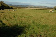Cattle near Claydon Farm, Fiddington