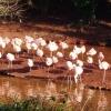 Flamingos at Paignton Zoo