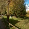 Cricket bat willows along the canal