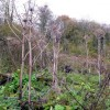 Giant hogweed at Enterkine