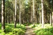Spinnow wood