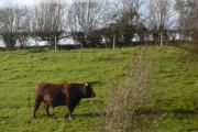 A fine bull at Collington Farm near Badlesmere
