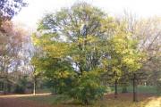 Maple, Hearsall Common