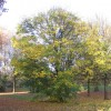 Maple, Hearsall Common