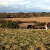 Ponies on the heath